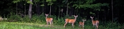 Deer (D)