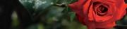 Red Rose (D)