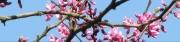 Rosebud Tree (T)