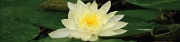 Water Lily (D)